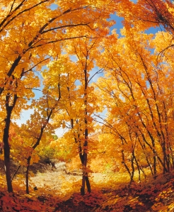 A Grove of Maple Trees in Autumn Colors
